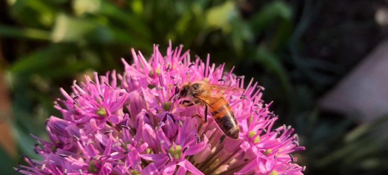 Wildbiene auf Blüte 2020-04
